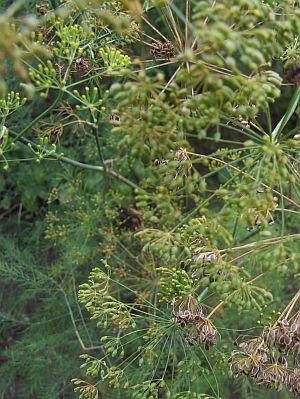 Dillpflanze mit Blüten- und Samenständen