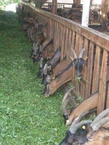 Foto: Ziegenfütterung beim Ziegenfest (Berghof in Schöllkrippen)